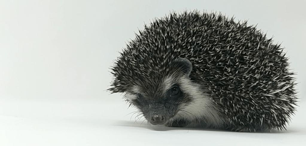 2019 Boston Hedgehogs_Bano